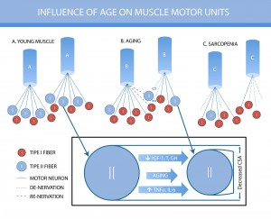 Coupling between skeletal muscle fiber size and capillarization is maintained during healthy aging.