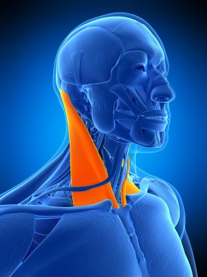 The reliability of assessing sternocleidomastoid muscle length and strength in adults with and without mild neck pain.