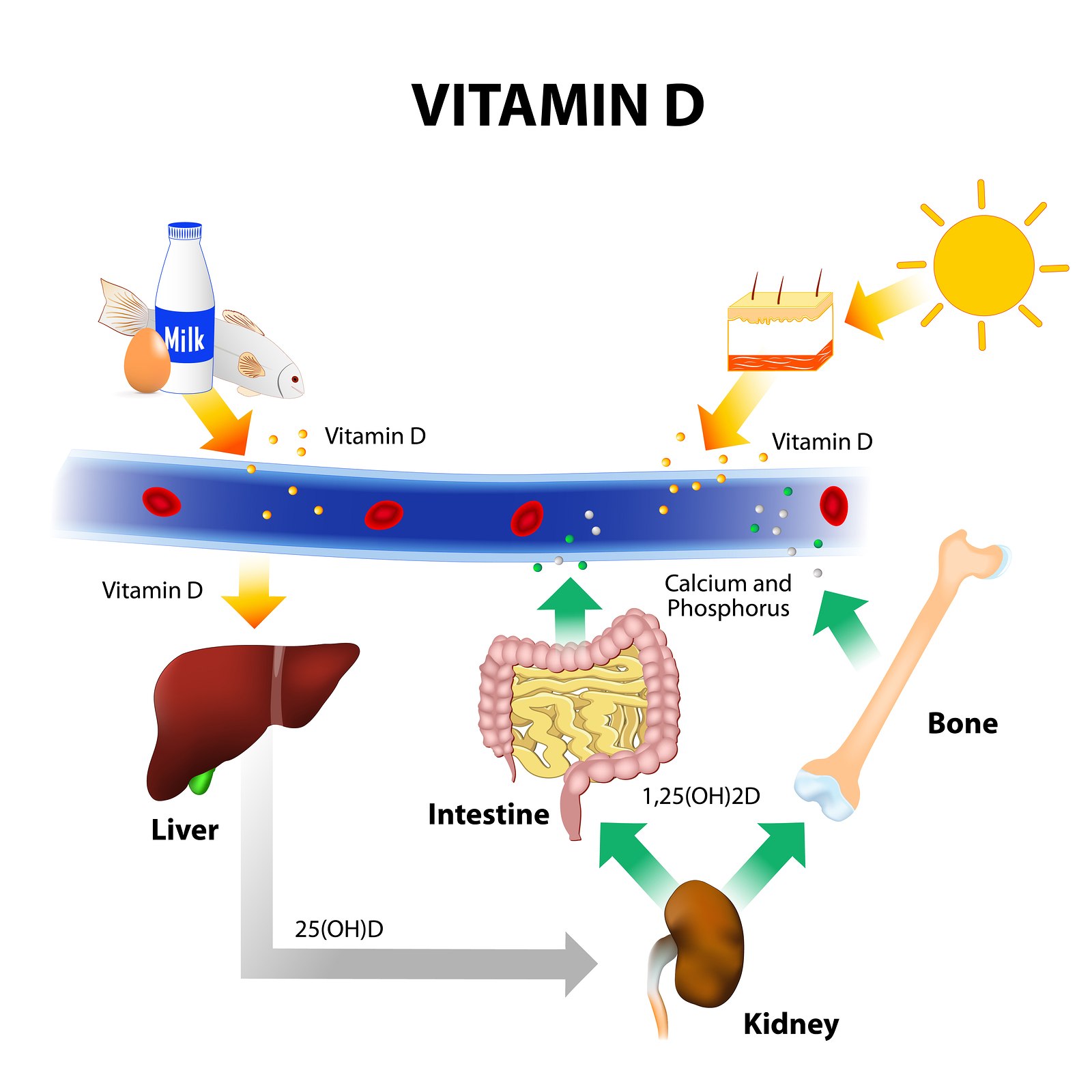 Vitamin D  U0026 Parathyroid Hormone Are Associated With